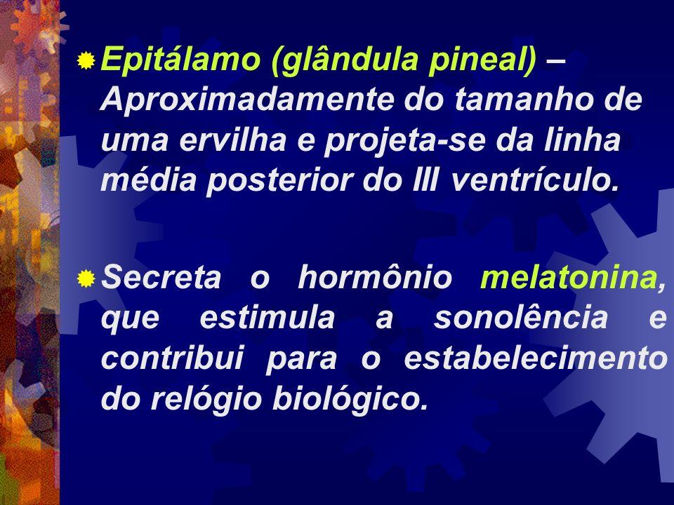 Epitálamo (glândula pineal) – Aproximadamente do tamanho de uma ervilha e projeta-se da linha média posterior do III ventrículo. Secreta o hormônio me
