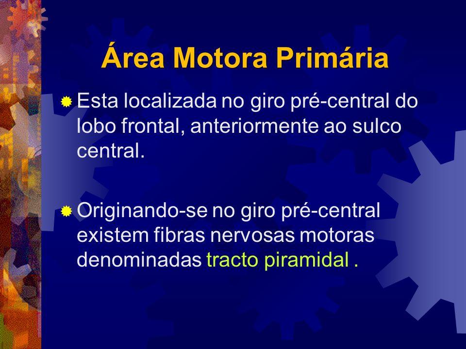 Área Motora Primária Esta localizada no giro pré-central do lobo frontal, anteriormente ao sulco central. Originando-se no giro pré-central existem fi