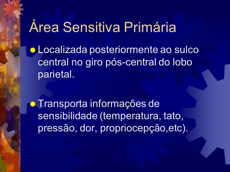 Área Sensitiva Primária Localizada posteriormente ao sulco central no giro pós-central do lobo parietal. Transporta informações de sensibilidade (temp