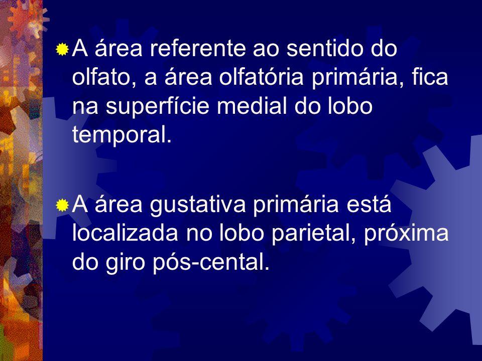 A área referente ao sentido do olfato, a área olfatória primária, fica na superfície medial do lobo temporal. A área gustativa primária está localizad