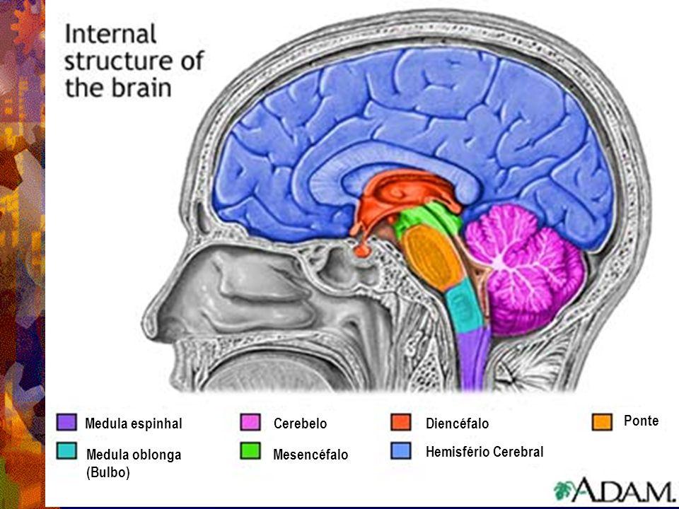 Medula espinhal Medula oblonga (Bulbo) Cerebelo Mesencéfalo Diencéfalo Hemisfério Cerebral Ponte
