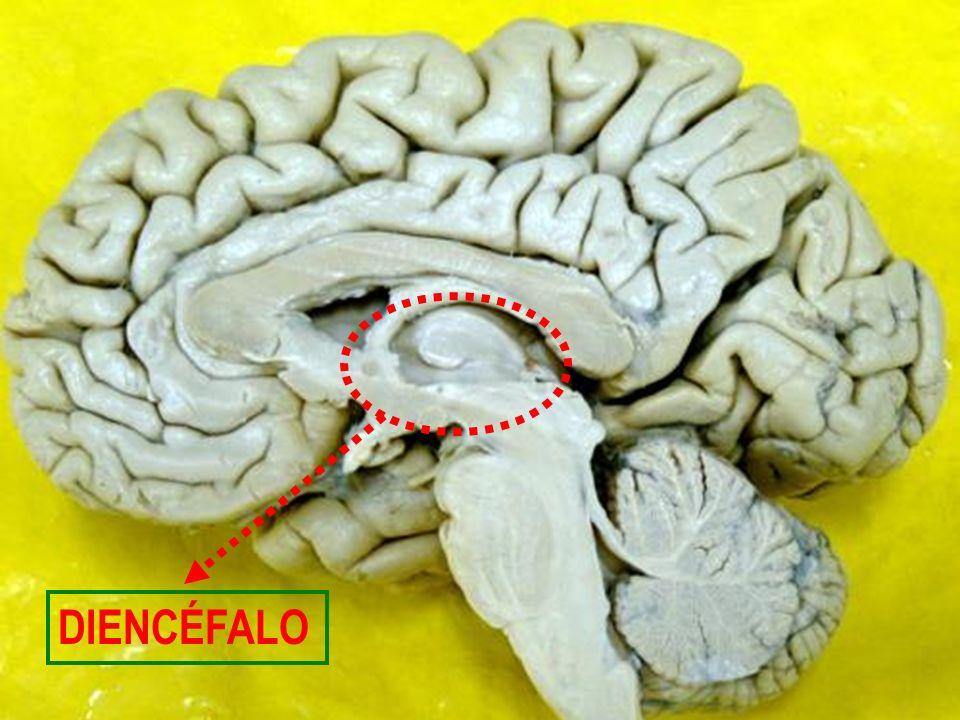 Tálamo - massas pares e ovais de substância cinzenta, organizada em núcleos, com tratos de substância branca intercalados.