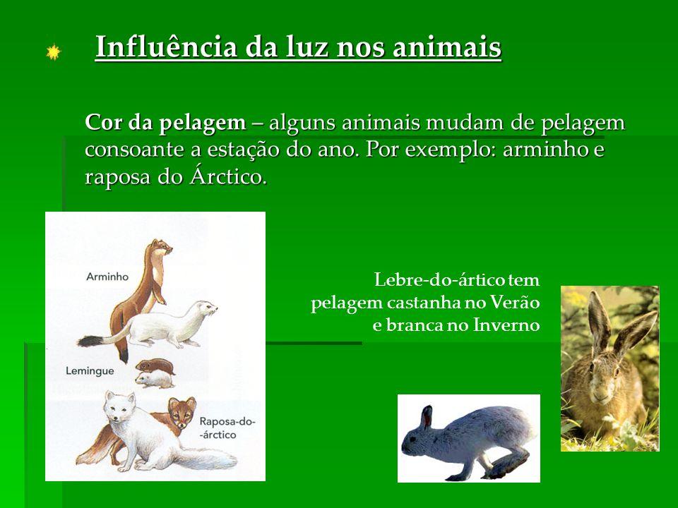 Lebre-do-ártico tem pelagem castanha no Verão e branca no Inverno Influência da luz nos animais