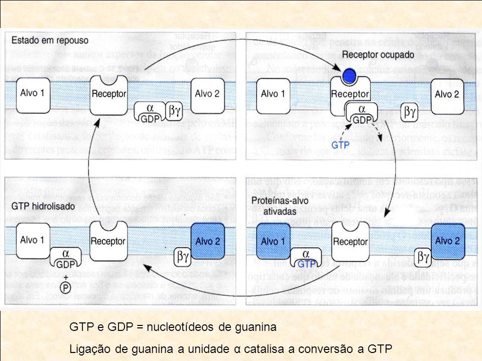 GTP e GDP = nucleotídeos de guanina Ligação de guanina a unidade α catalisa a conversão a GTP