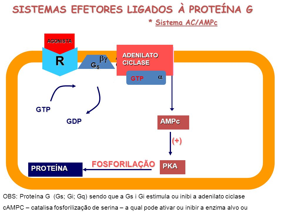 GDP AGONISTA GTP GDP AGONISTA AGONISTA GTP GTP ADENILATOCICLASE ADENILATOCICLASE GTP GSGSGSGS (+) PKA FOSFORILAÇÃOPROTEÍNA AMPc ATP R SISTEMAS EFETORE