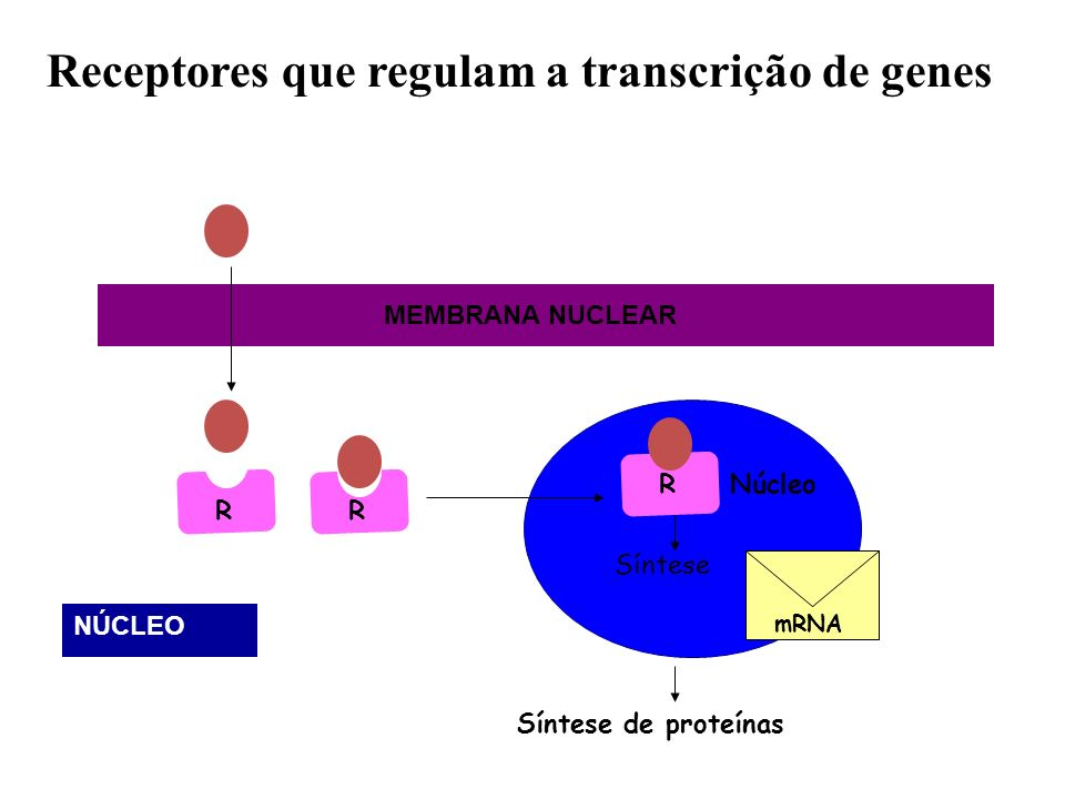 RNúcleo Síntese Síntese de proteínas RR Receptores que regulam a transcrição de genes mRNA MEMBRANA NUCLEAR NÚCLEO