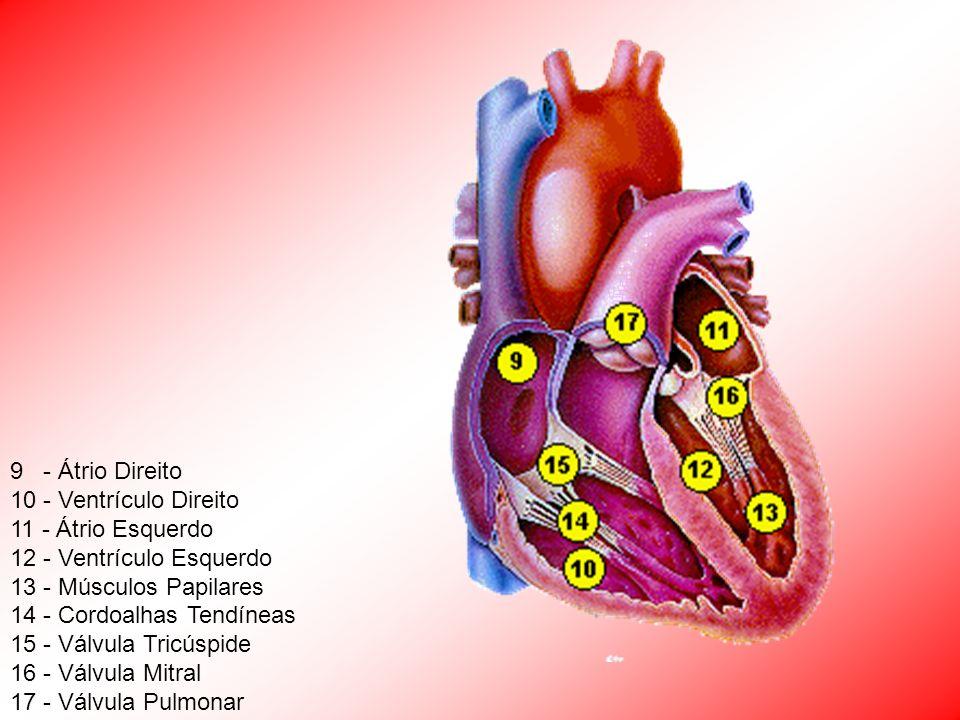 9 - Átrio Direito 10 - Ventrículo Direito 11 - Átrio Esquerdo 12 - Ventrículo Esquerdo 13 - Músculos Papilares 14 - Cordoalhas Tendíneas 15 - Válvula