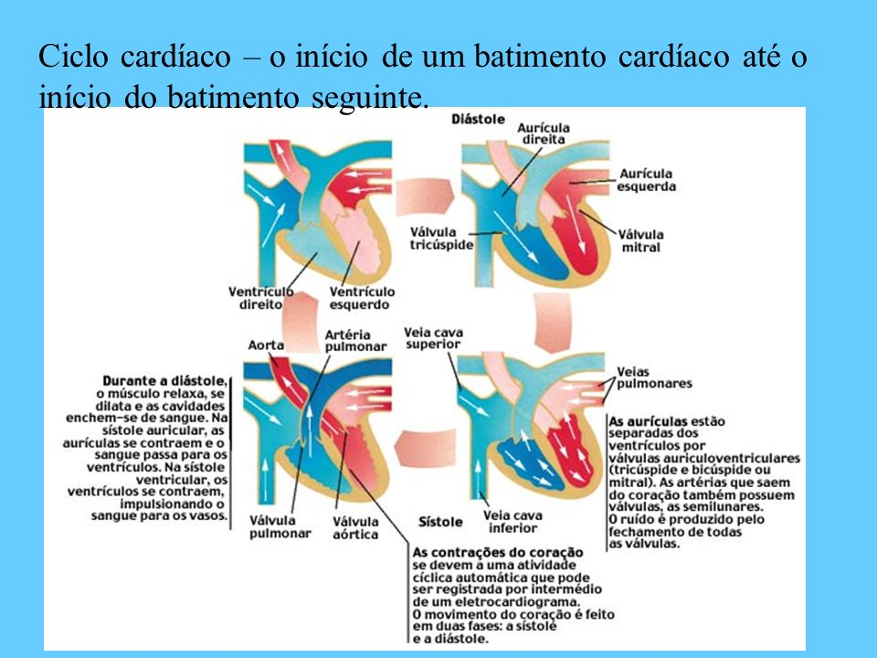 Ciclo cardíaco – o início de um batimento cardíaco até o início do batimento seguinte.