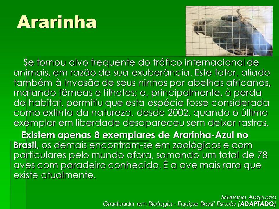 Ararinha Se tornou alvo frequente do tráfico internacional de animais, em razão de sua exuberância. Este fator, aliado também à invasão de seus ninhos