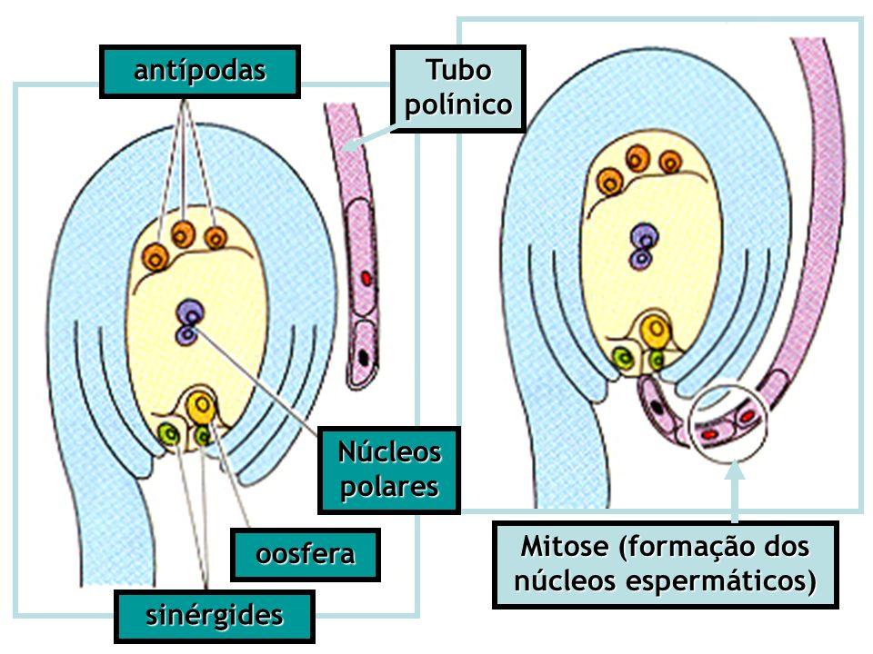 antípodas sinérgides Núcleos polares oosfera Tubo polínico Mitose (formação dos núcleos espermáticos)
