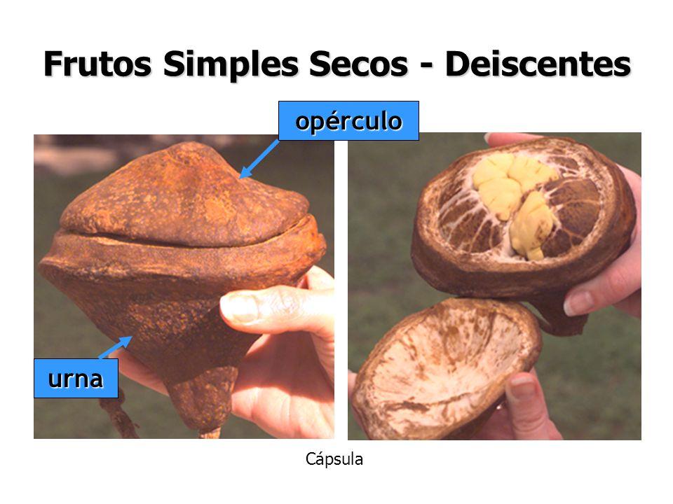 Frutos Simples Secos - Deiscentes opérculo urna Cápsula