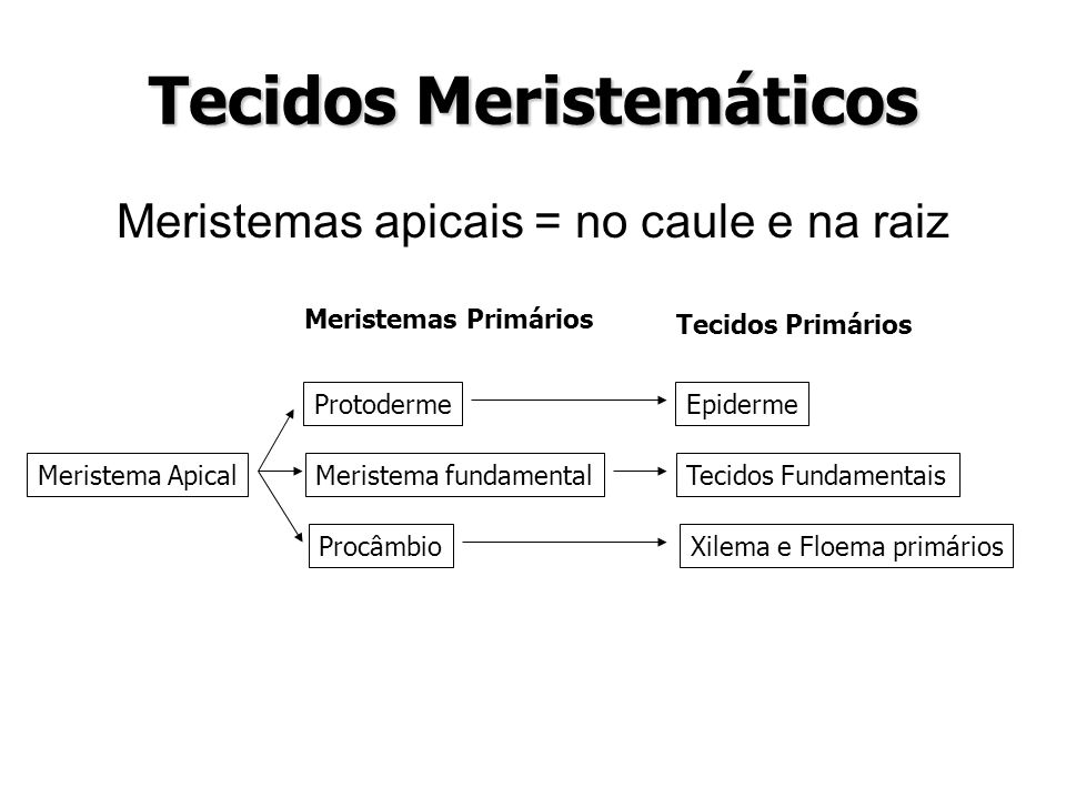 Tecidos Meristemáticos Meristemas apicais = no caule e na raiz Meristema Apical Protoderme Meristema fundamental Procâmbio Epiderme Tecidos Fundamenta