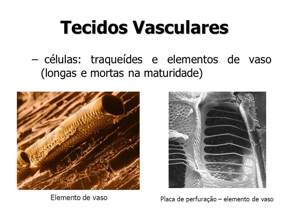 Tecidos Vasculares – células: traqueídes e elementos de vaso (longas e mortas na maturidade) Elemento de vaso Placa de perfuração – elemento de vaso
