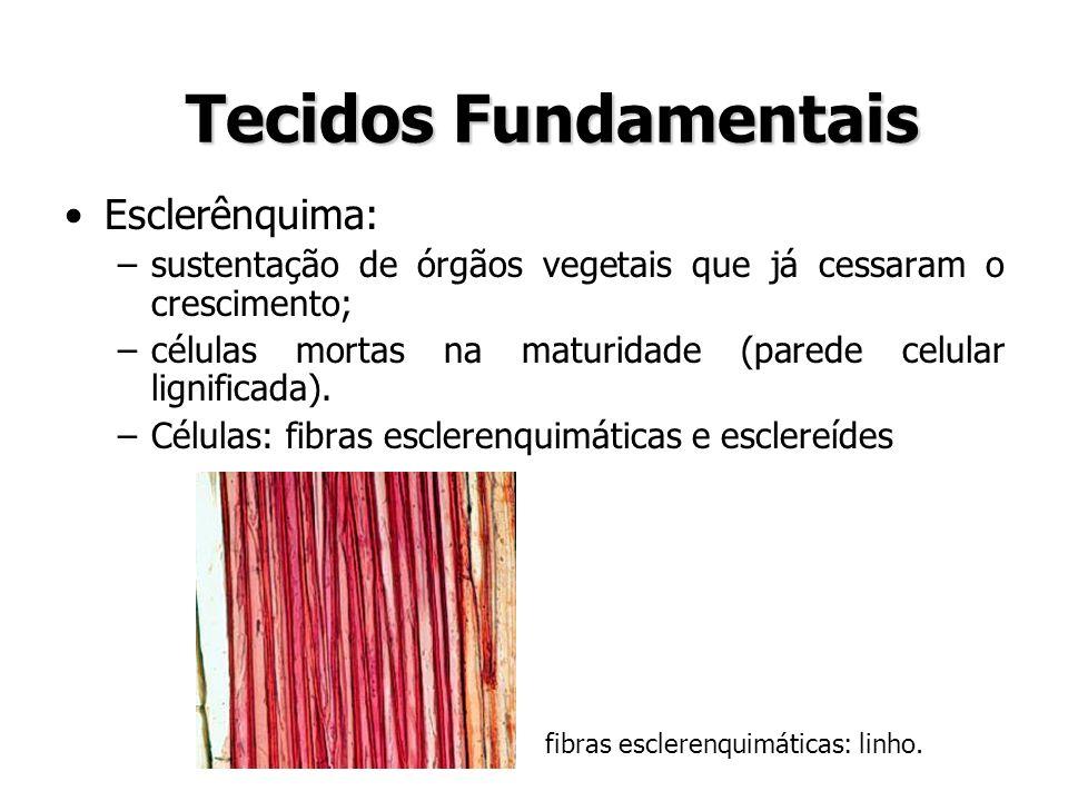 Esclerênquima: –sustentação de órgãos vegetais que já cessaram o crescimento; –células mortas na maturidade (parede celular lignificada). –Células: fi