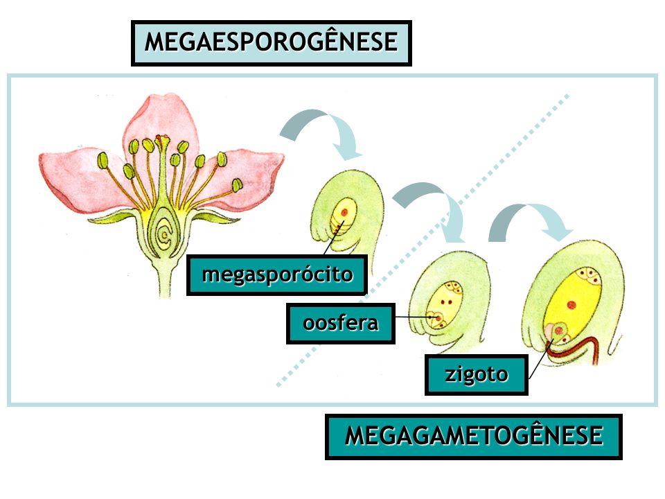 Tecidos Vegetais Tipos de tecidos: – Meristemáticos = originam novas células –Dérmicos = revestem e protegem (epiderme) – Vasculares = transportam e distribuem substâncias (xilema e floema) – Preenchimento = ocupam espaços internos (parênquimas) – Sustentação = sustentam a planta (colênquima e esclerênquima) Fundamentais