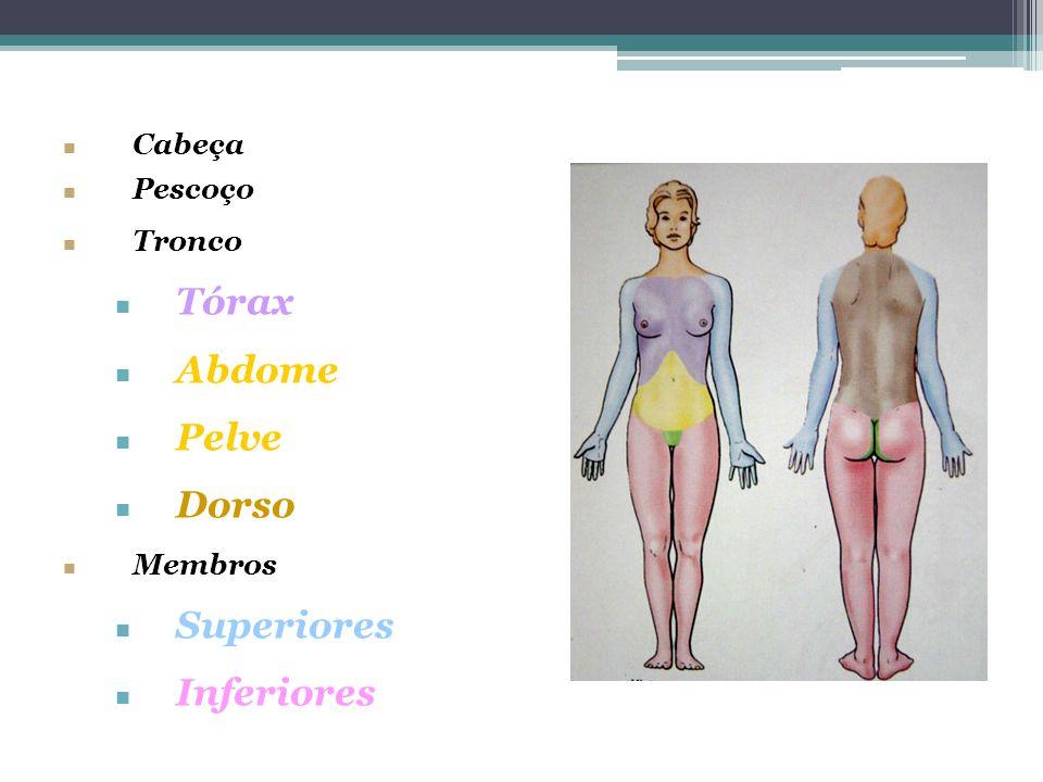 Cabeça Pescoço Tronco Tórax Abdome Pelve Dorso Membros Superiores Inferiores