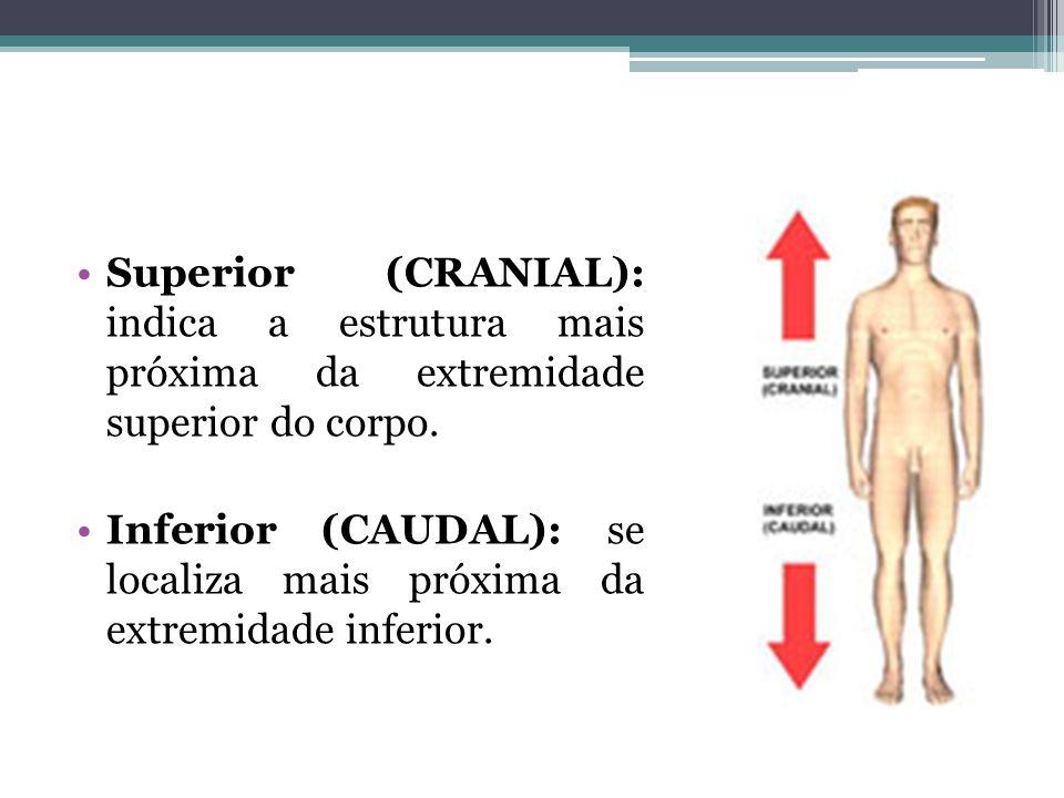 Superior (CRANIAL): indica a estrutura mais próxima da extremidade superior do corpo. Inferior (CAUDAL): se localiza mais próxima da extremidade infer