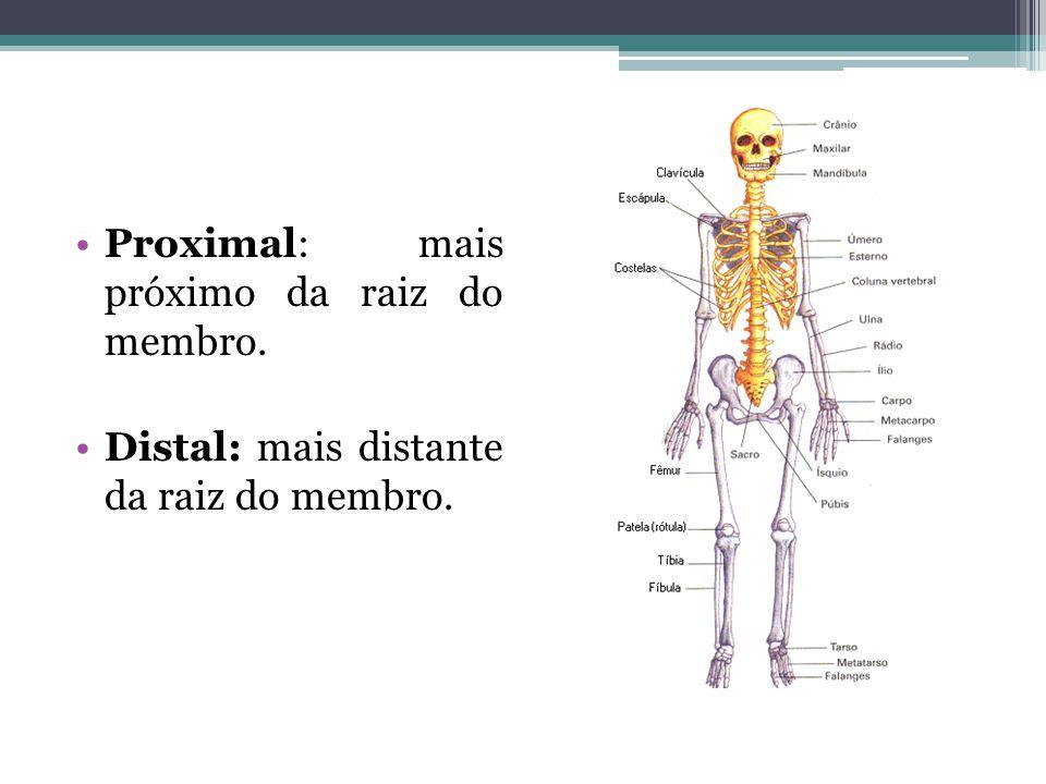 Proximal: mais próximo da raiz do membro. Distal: mais distante da raiz do membro.