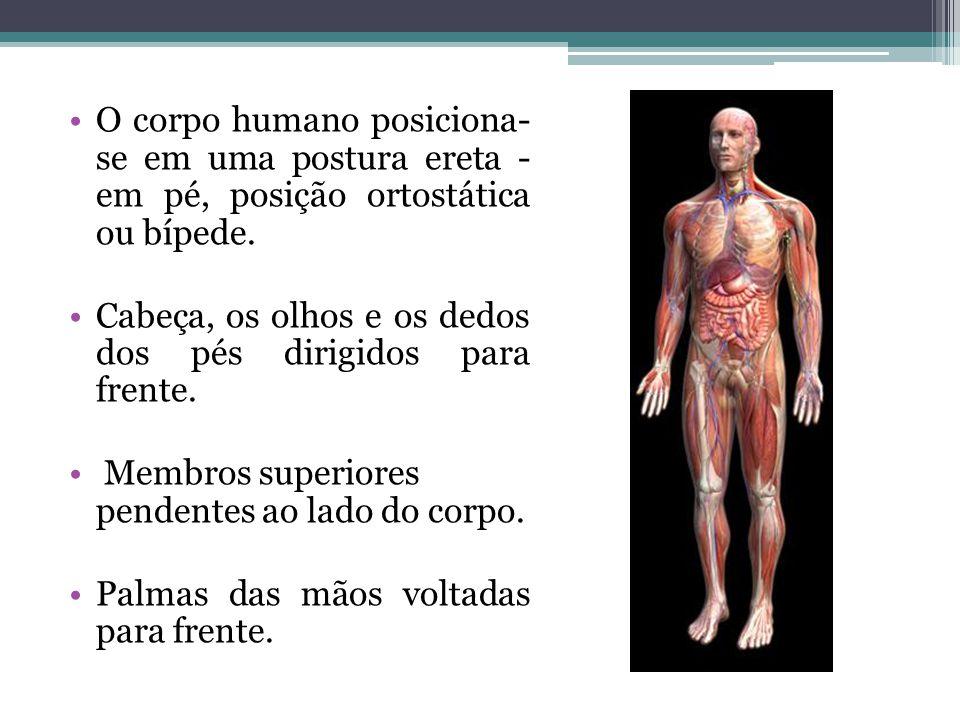 O corpo humano posiciona- se em uma postura ereta - em pé, posição ortostática ou bípede. Cabeça, os olhos e os dedos dos pés dirigidos para frente. M