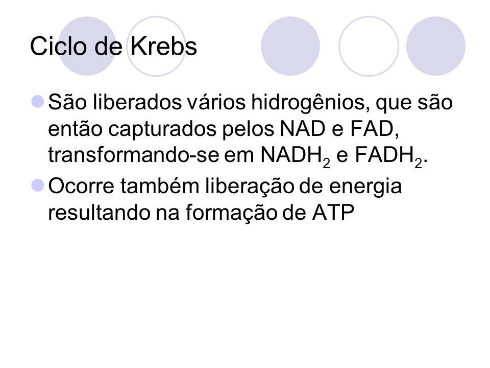 Ciclo de Krebs São liberados vários hidrogênios, que são então capturados pelos NAD e FAD, transformando-se em NADH 2 e FADH 2. Ocorre também liberaçã