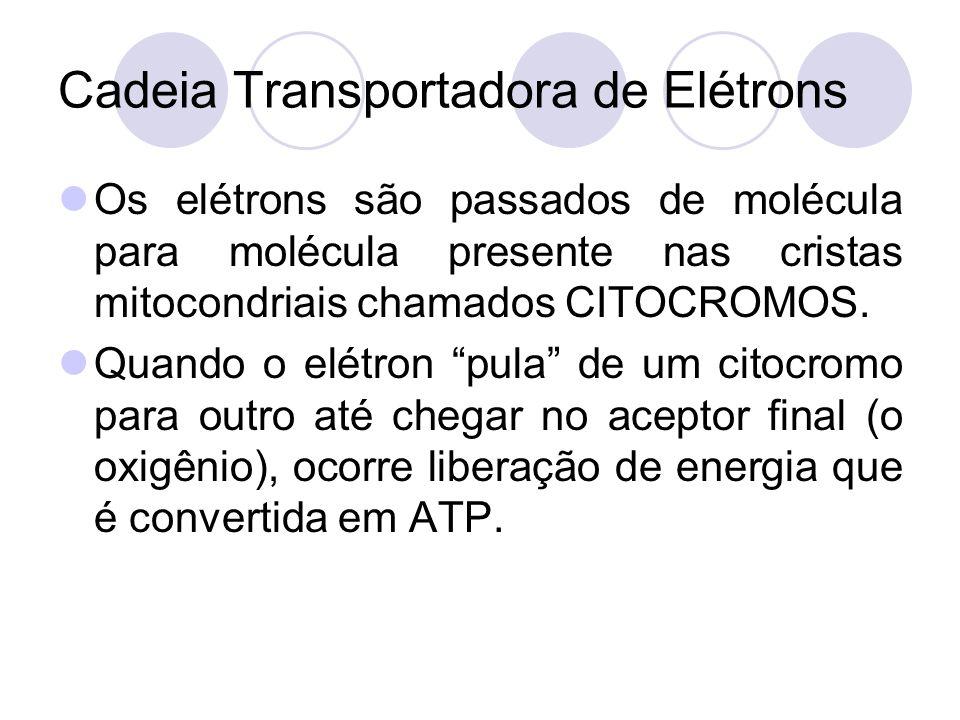 Cadeia Transportadora de Elétrons Os elétrons são passados de molécula para molécula presente nas cristas mitocondriais chamados CITOCROMOS. Quando o