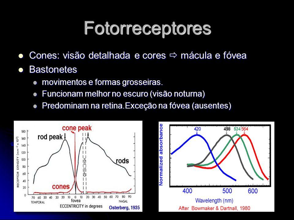 Interneurônios Células Bipolares Células Bipolares 2º Neurônio da via visual 2º Neurônio da via visual Conectam Fotorreceptores e céls ganglionares Conectam Fotorreceptores e céls ganglionares