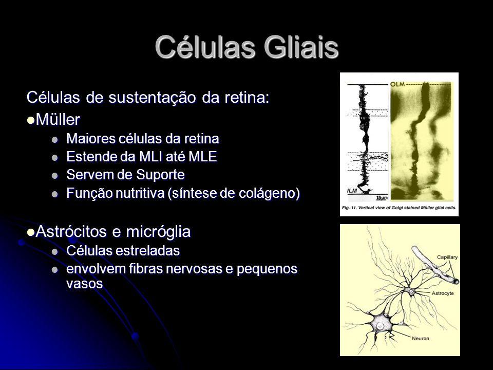 Células Gliais Células de sustentação da retina: Müller Müller Maiores células da retina Maiores células da retina Estende da MLI até MLE Estende da M