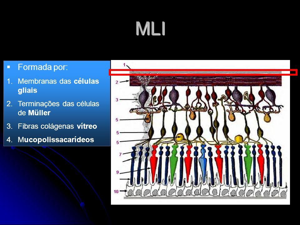 MLI Formada por: 1.Membranas das células gliais 2.Terminações das células de Müller 3.Fibras colágenas vítreo 4.Mucopolissacarídeos