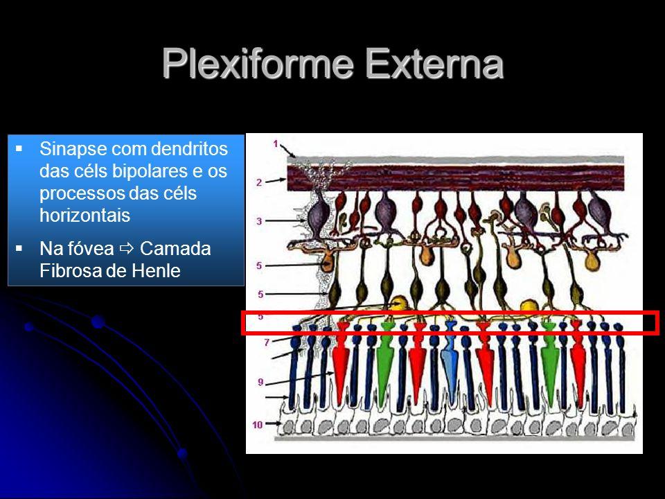 Plexiforme Externa Sinapse com dendritos das céls bipolares e os processos das céls horizontais Na fóvea Camada Fibrosa de Henle