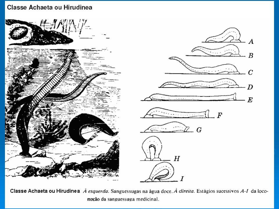 Concha Argonauta
