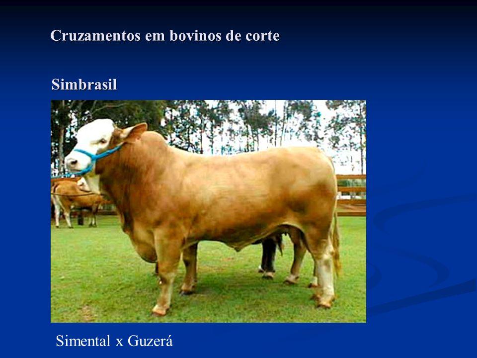 Cruzamentos em bovinos de corte Simental x Guzerá Simbrasil
