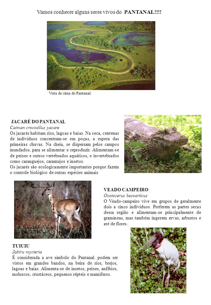 JACARÉ DO PANTANAL Caiman crocodilus yacare Os jacarés habitam rios, lagoas e baias. Na seca, centenas de indivíduos concentram-se em poças, a espera