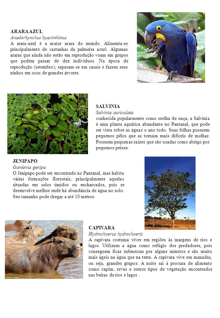 JENIPAPO Gardenia genipa O Jenipapo pode ser encontrado no Pantanal, mas habita várias formações florestais, principalmente aquelas situadas em solos