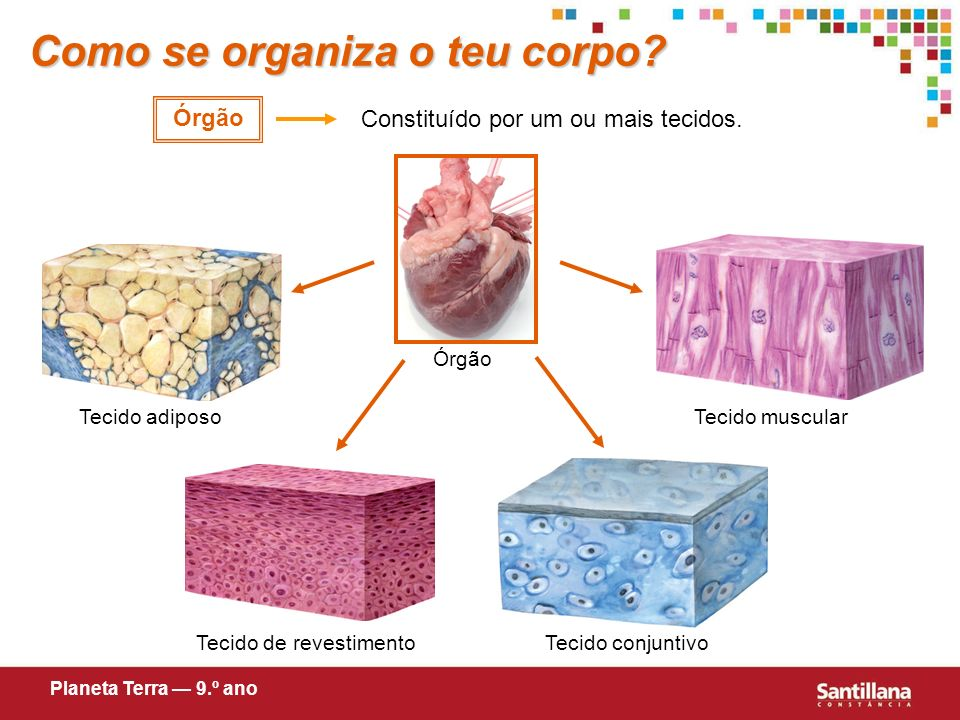Como se organiza o teu corpo.Constituído por células semelhantes com a mesma função.