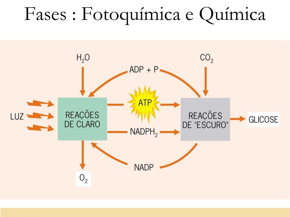 Equação Geral Respiração Celular: 6O 2 + C 6 H 12 O 6 6CO 2 + 6H 2 O Fotossíntese: 6CO 2 + 6H 2 O + luz C 6 H 12 O 6 + 6O 2