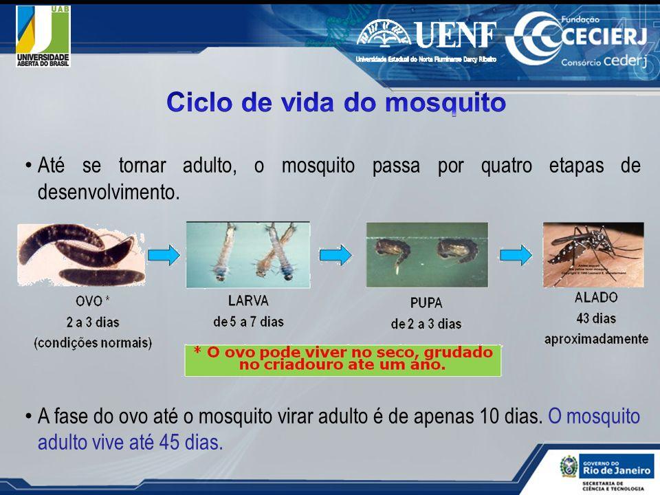 Até se tornar adulto, o mosquito passa por quatro etapas de desenvolvimento. A fase do ovo até o mosquito virar adulto é de apenas 10 dias. O mosquito