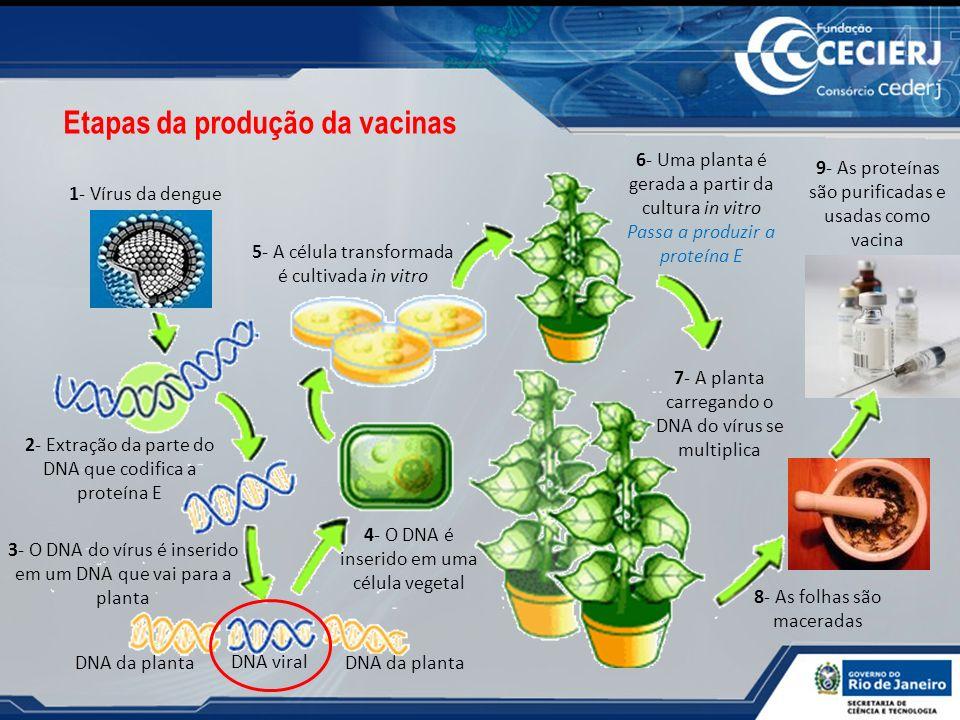 1- Vírus da dengue 2- Extração da parte do DNA que codifica a proteína E 3- O DNA do vírus é inserido em um DNA que vai para a planta DNA viral DNA da