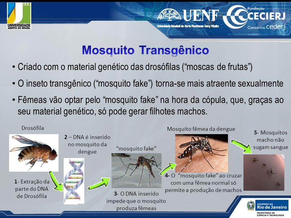 Criado com o material genético das drosófilas (moscas de frutas) O inseto transgênico (mosquito fake) torna-se mais atraente sexualmente Fêmeas vão op
