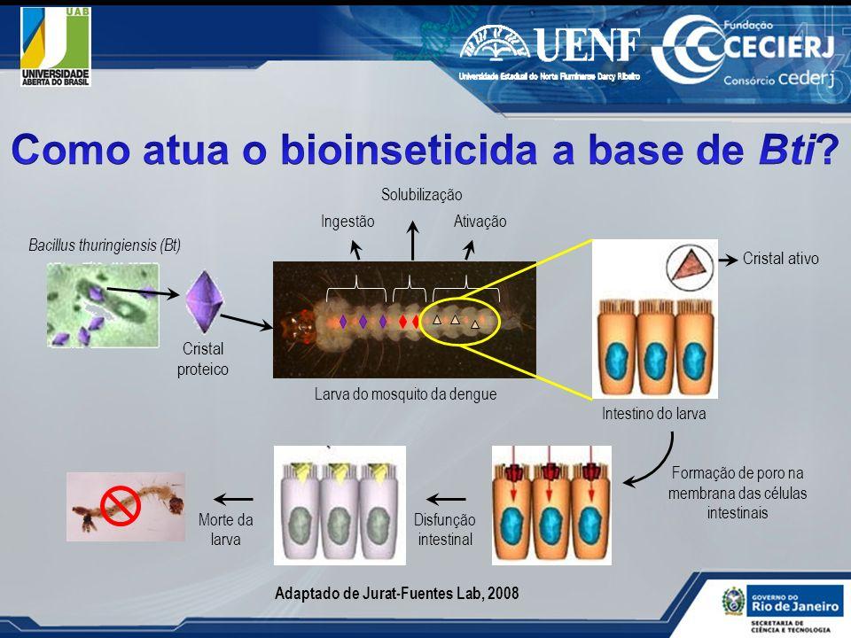 Bacillus thuringiensis (Bt) Cristal proteico Ingestão Solubilização Ativação Larva do mosquito da dengue Intestino do larva Cristal ativo Formação de