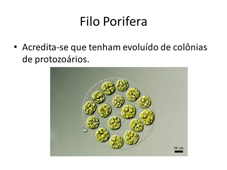 Acredita-se que tenham evoluído de colônias de protozoários.