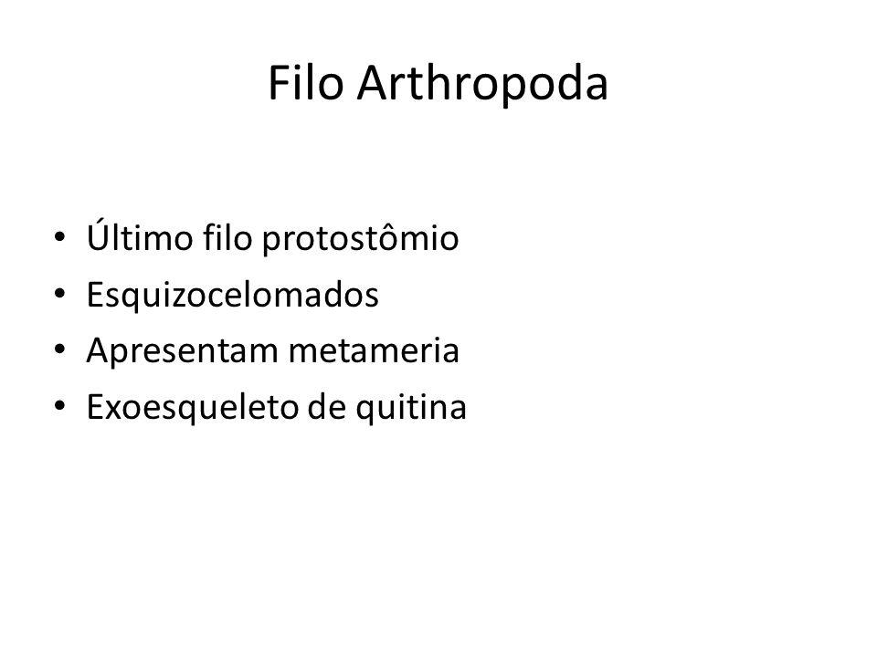 Último filo protostômio Esquizocelomados Apresentam metameria Exoesqueleto de quitina