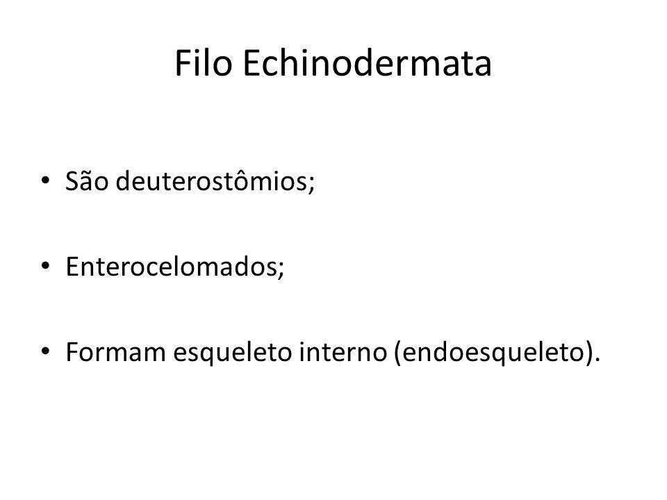 Filo Echinodermata São deuterostômios; Enterocelomados; Formam esqueleto interno (endoesqueleto).