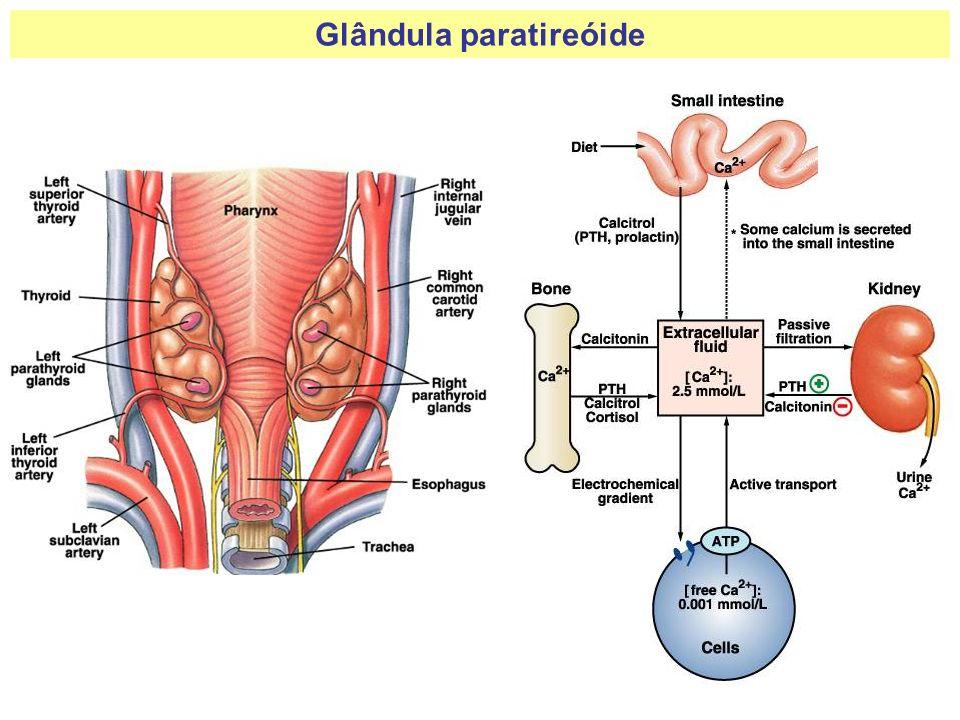 Glândula paratireóide