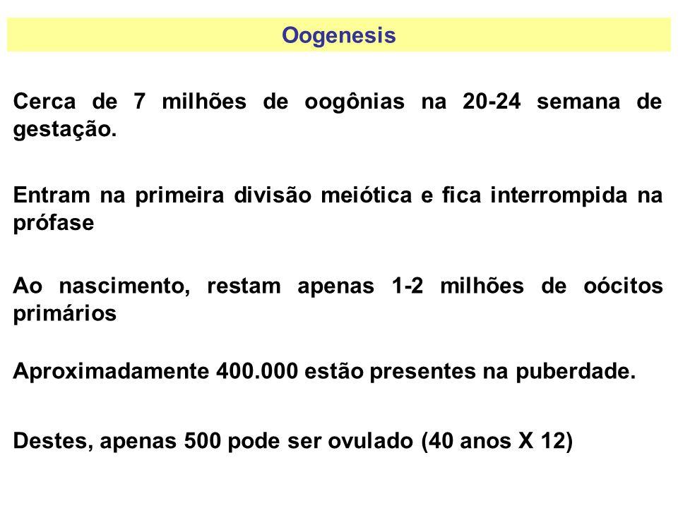 Oogenesis Cerca de 7 milhões de oogônias na 20-24 semana de gestação. Entram na primeira divisão meiótica e fica interrompida na prófase Ao nascimento