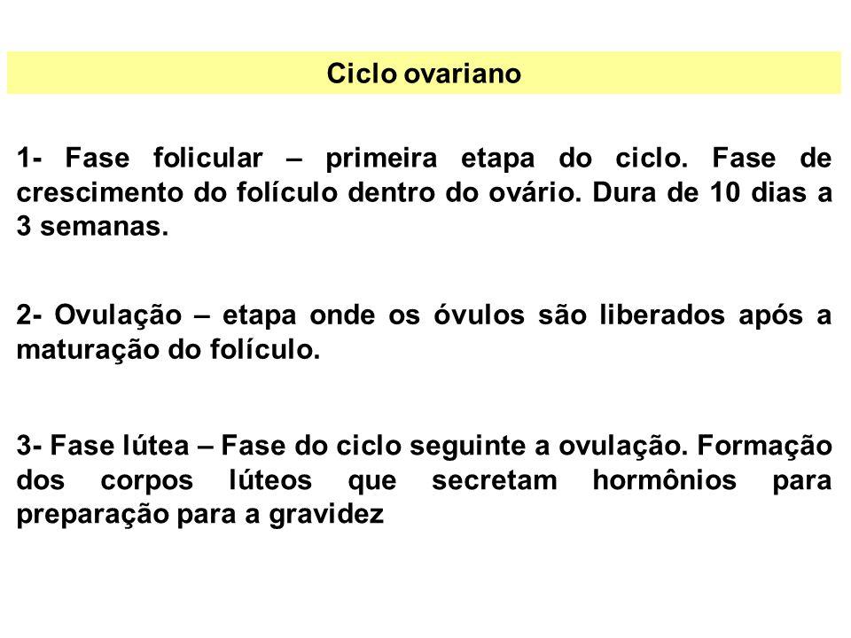 Ciclo ovariano 1- Fase folicular – primeira etapa do ciclo. Fase de crescimento do folículo dentro do ovário. Dura de 10 dias a 3 semanas. 2- Ovulação