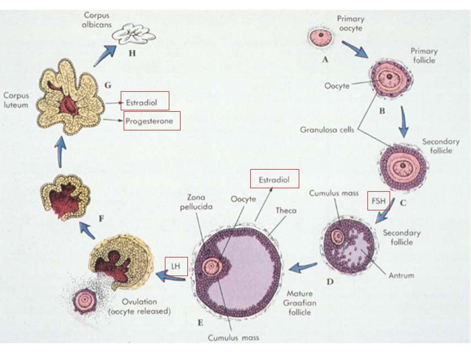 Ciclo uterino 1- Menstruação – O começo da fase folicular no ovário corresponde ao sangramento menstrual no útero.