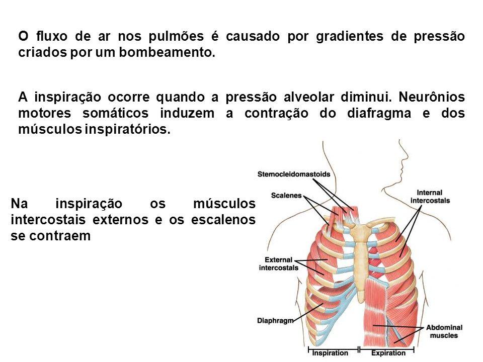 O fluxo de ar nos pulmões é causado por gradientes de pressão criados por um bombeamento. A inspiração ocorre quando a pressão alveolar diminui. Neurô