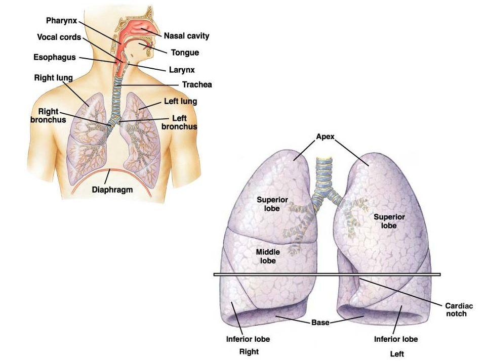 LEI DE BOYLE P 1 V 1 =P 2 V 2 Ex: 100 mmHg X 1L = P2 x 0,5L P2 = 200 mmHg No sistema respiratório, mudanças no volume da cavidade peitoral durante a ventilação causam gradientes de pressão que criam o fluxo de ar.
