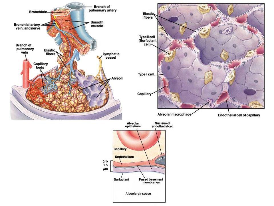 Camada liquida ao redor dos alvéolos cria uma tensão superficial.