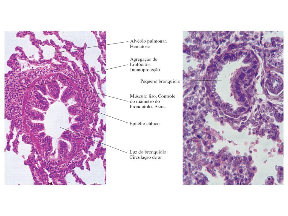 Funcionalmente, o tórax é uma cavidade preenchida com três bolsas membranosas: o pericárdio e os sacos pleurais.